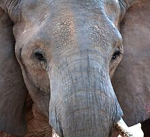 African Elephant Bull  by Samantha Cole-Surjan