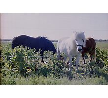 Horses grazing on green meadows Photographic Print