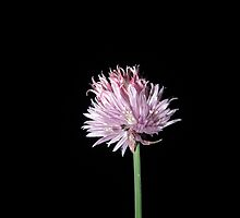 Chives at night by Eleanor11