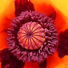Inside A Poppy by Vicki Spindler (VHS Photography)