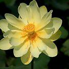 American Lotus by RebeccaBlackman