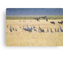 sandhill cranes, Canada geese and a lone antelope... Canvas Print