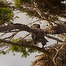 Baby Eagle Spreads Its Wings by David Friederich