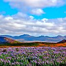 Lupine time in Iceland ! by siggabach