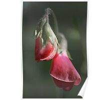Sweet Pea Poster