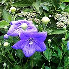 Balloon Flower by SylviaS