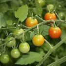 fresh tomatoes by ANNABEL   S. ALENTON