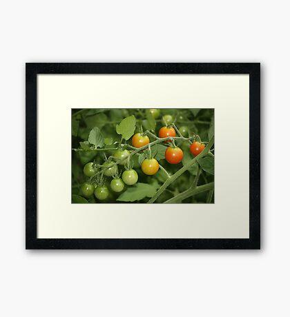 fresh tomatoes Framed Print