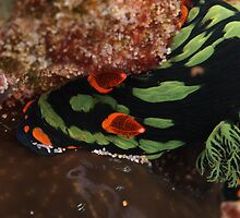 nudibranch muiron islands reef by peterbeaton