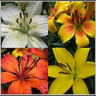 Sparkling Jewels - Raindrops on Lilies Collage by BlueMoonRose
