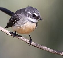 ''Grey Fantail'' by bowenite