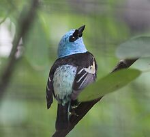 Blue-necked Tanager by ZeeZeeshots