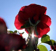 Backlit Rose by Bob Wall