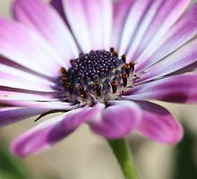 Purple osteospermum by Astrid Ewing Photography