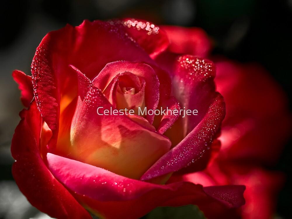 Rose sparkling with morning dew by Celeste Mookherjee