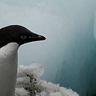 Adélie Penguin by Coreena Vieth