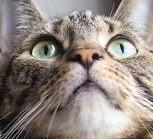 Tabby Cat Gazing Up by mariesym