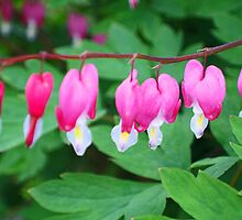 Bleeding hearts by Tina  Bark