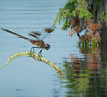 Dragonfly at Cypress Island by Bonnie T.  Barry