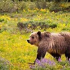 Grizzly Bear, Blondie, in Wildflowers by cavaroc