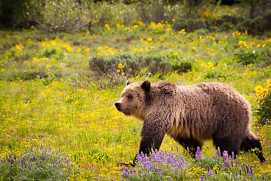 Grizzly Bear, Blondie, in Wildflowers by cavaroc