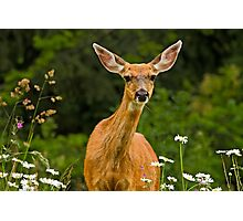 COLUMBIAN BLACKTAIL DOE Photographic Print
