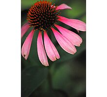 Spike Me Up With Echinacea 2 Photographic Print