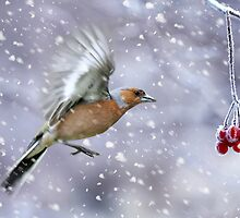 Christmas Card With Winter Chaffinch by Moonlake