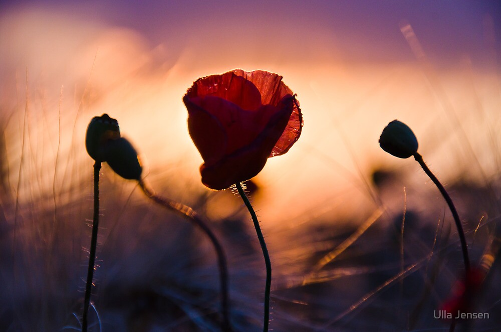 The poppy by Ulla Jensen