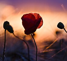 The poppy by Ulla Jensen