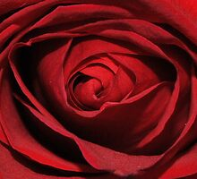 Inside the Rose by Bill Colman