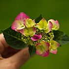 Hydrangea from the garden by Justine Gordon