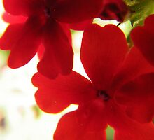 Red Verbena by WeeZie