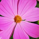 Pink Cosmos by William Sanford