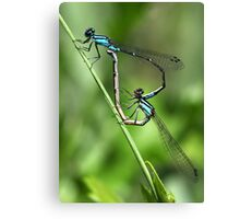 Bluets Mating Game Canvas Print