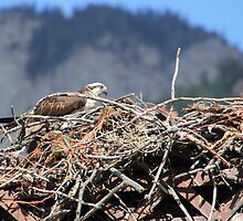 Mama or Papa Osprey by Dallas Kempfle
