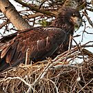 Baby Bald Eagle on the Nest by David Friederich