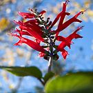 Pineapple Sage by ToddDuvall