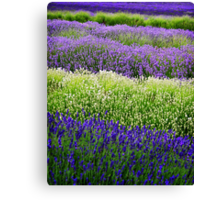 Lavender Layers, The Cotswolds, England Canvas Print
