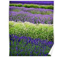 Lavender Layers, The Cotswolds, England Poster