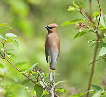 Cedar Waxwing (Bombycilla cedrorum) by Mike Oxley