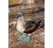 Blue- Footed Booby Photographic Print