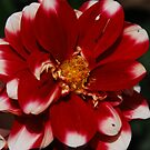 Crimson dahlia by William Sanford