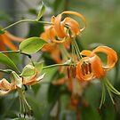 Orange Flowers by AnitaHavel