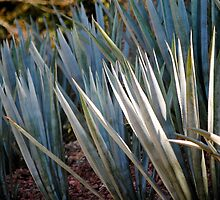 agave by richard  webb