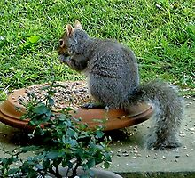 Grey squirrel - free lunch ! by Roy  Massicks