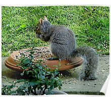 Grey squirrel - free lunch ! Poster