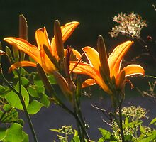 """""""Tiger Lilies In the Fading Sunlight"""" by dfrahm"""