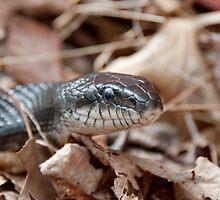 Black Rat Snake in Dead Leaves by esoojins