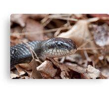Black Rat Snake in Dead Leaves Canvas Print